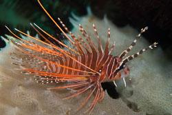 BD-161030-Pura-4096-Pterois-antennata-(Bloch.-1787)-[Broadbarred-firefish].jpg